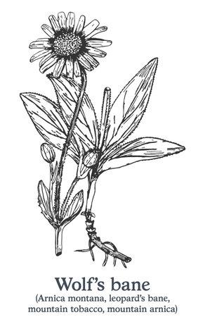 Wolfs bane. Vector hand drawn plant. Vintage medicinal plant sketch.