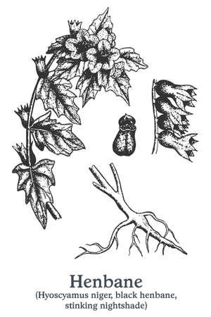 Henbane. Vector hand drawn plant. Vintage medicinal plant sketch. 矢量图像