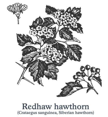 Redhaw hawthorn. Vector hand drawn plant. Vintage medicinal plant sketch. Ilustracja