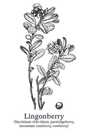 Lingonberry. Vector hand drawn plant. Vintage medicinal plant sketch. 矢量图像