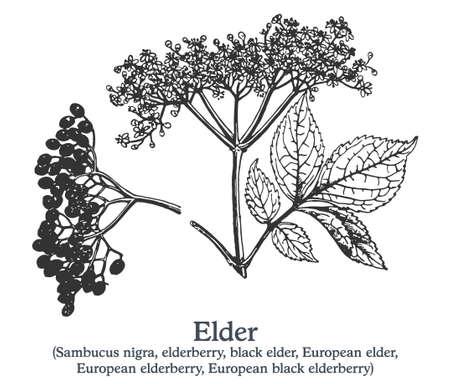 Elder. Vector hand drawn plant. Vintage medicinal plant sketch.