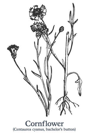 Cornflower. Vector hand drawn plant. Vintage medicinal plant sketch.