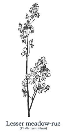 Lesser meadow-rue. Vector hand drawn plant. Vintage medicinal plant sketch.