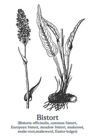 Bistort. Vector hand drawn plant. Vintage medicinal plant sketch.
