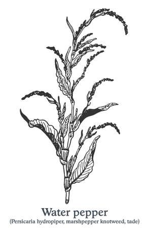 Water pepper. Vector hand drawn plant. Vintage medicinal plant sketch.