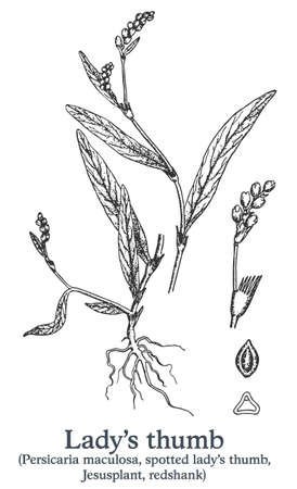 Ladys thumb. Vector hand drawn plant. Vintage medicinal plant sketch.