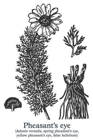 Pheasants eye. Vector hand drawn plant. Vintage medicinal plant sketch.