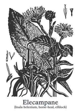 Elecampane. Vector hand drawn plant. Vintage medicinal plant sketch.