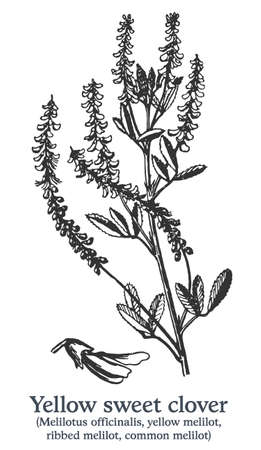 Yellow sweet clover. Vector hand drawn plant. Vintage medicinal plant sketch.
