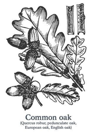 Common oak. Vector hand drawn plant. Vintage medicinal plant sketch. 矢量图像