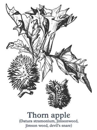 Thorn apple. Vector hand drawn plant. Vintage medicinal plant sketch. 矢量图像