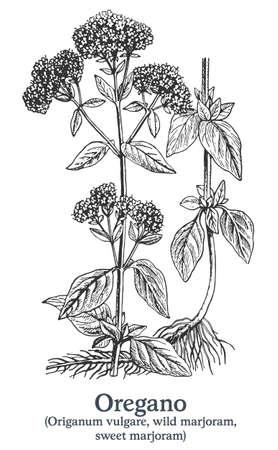 Oregano. Vector hand drawn plant. Vintage medicinal plant sketch.
