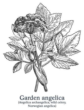 Garden angelica. Vector hand drawn plant. Vintage medicinal plant sketch. Ilustrace