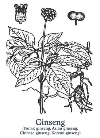Ginseng. Vector hand drawn plant. Vintage medicinal plant sketch. 矢量图像