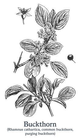 Buckthorn. Vector hand drawn plant. Vintage medicinal plant sketch. Ilustrace