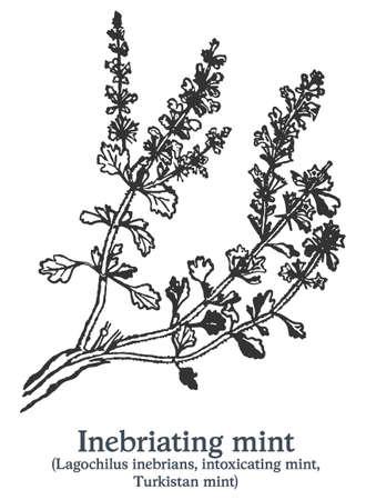 Inebriating mint. Vector hand drawn plant. Vintage medicinal plant sketch.