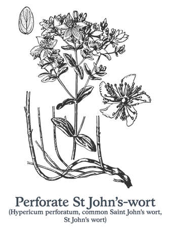 Perforate St Johns-wort. Vector hand drawn plant. Medicinal plant sketch.