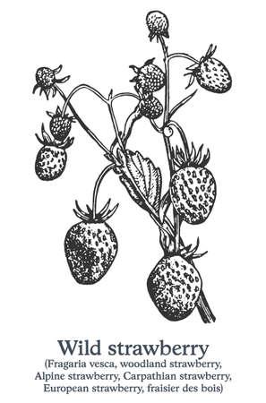 Wild strawberry. Vector hand drawn plant. Vintage medicinal plant sketch.