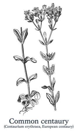Common centaury. Vector hand drawn plant. Vintage medicinal plant sketch.