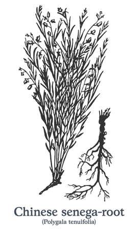 Chinese senega-root. Vector hand drawn plant. Vintage medicinal plant sketch. Ilustrace