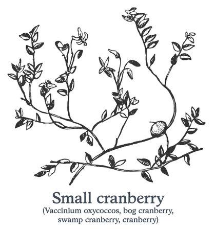 Small cranberry. Vector hand drawn plant. Vintage medicinal plant sketch. 矢量图像