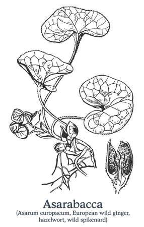 Asarabacca. Vector hand drawn plant. Vintage medicinal plant sketch. Ilustrace
