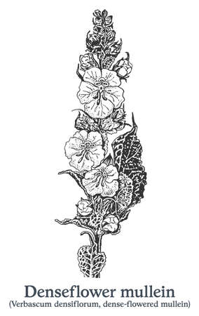 Denseflower mullein. Vector hand drawn plant. Vintage medicinal plant sketch. 矢量图像