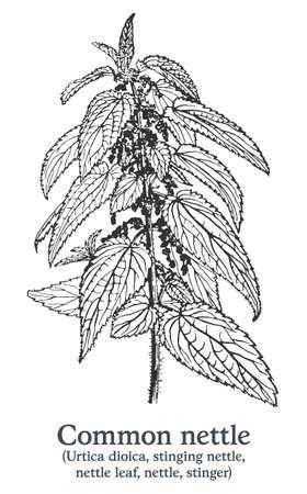 Common nettle. Vector hand drawn plant. Vintage medicinal plant sketch.