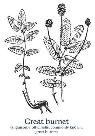 Great burnet. Vector hand drawn plant. Vintage medicinal plant sketch.