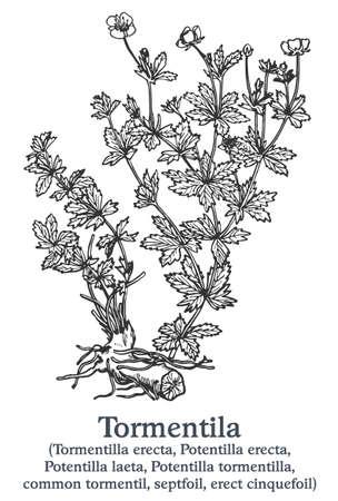 Tormentila. Vector hand drawn plant. Vintage medicinal plant sketch. 矢量图像