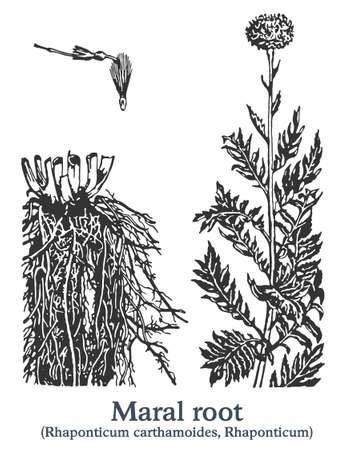 Maral root. Vector hand drawn plant. Vintage medicinal plant sketch.