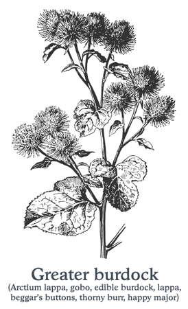 Greater burdock. Vector hand drawn plant. Vintage medicinal plant sketch. Ilustrace