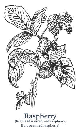 Raspberry. Vector hand drawn plant. Vintage medicinal plant sketch. Ilustrace