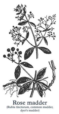 Rose madder. Vector hand drawn plant. Vintage medicinal plant sketch.