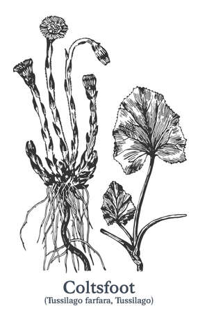 Coltsfoot. Vector hand drawn plant. Vintage medicinal plant sketch. Ilustrace