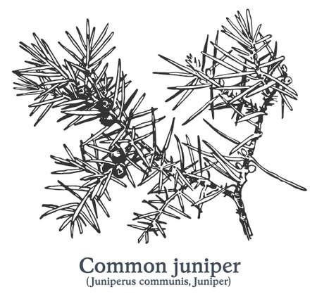 Common juniper. Vector hand drawn plant. Vintage medicinal plant sketch. 矢量图像