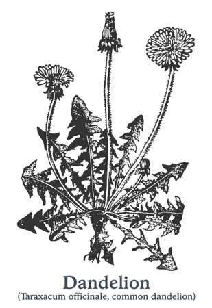 Dandelion. Vector hand drawn plant. Vintage medicinal plant sketch. Ilustrace