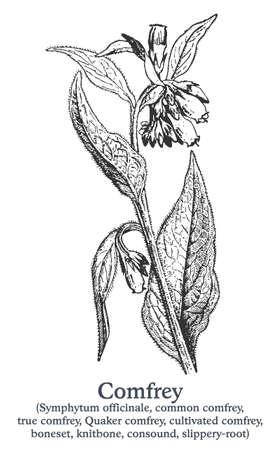 Comfrey. Vector hand drawn plant. Vintage medicinal plant sketch.