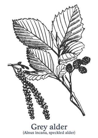 Grey alder. Vector hand drawn plant. Vintage medicinal plant sketch. 矢量图像