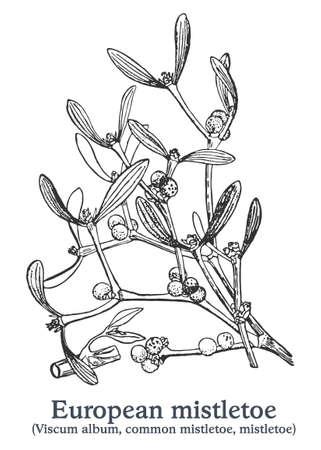 European mistletoe. Vector hand drawn plant. Vintage medicinal plant sketch.