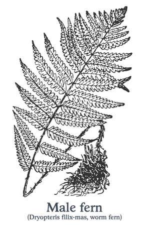 Male fern. Vector hand drawn plant. Vintage medicinal plant sketch. Ilustrace