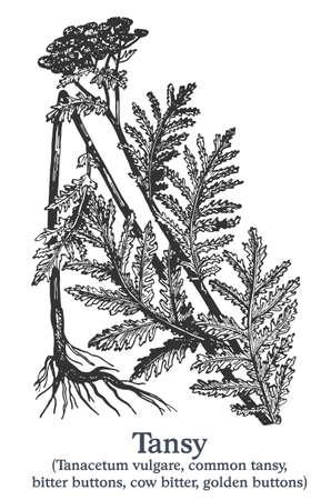 Tansy. Vector hand drawn plant. Vintage medicinal plant sketch. Ilustrace