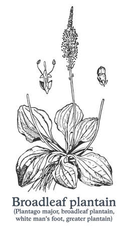 Broadleaf plantain. Vector hand drawn plant. Vintage medicinal plant sketch.