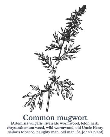Common mugwort. Vector hand drawn plant. Vintage medicinal plant sketch.
