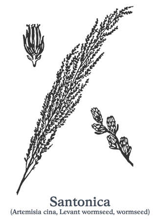 Santonica. Vector hand drawn plant. Vintage medicinal plant sketch.