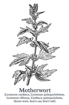 Motherwort. Vector hand drawn plant. Vintage medicinal plant sketch.