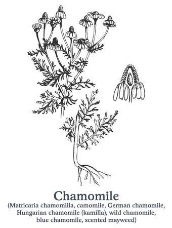 Chamomile. Vector hand drawn plant. Vintage medicinal plant sketch.