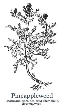 Pineappleweed. Vector hand drawn plant. Vintage medicinal plant sketch. 矢量图像