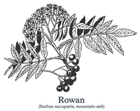 Rowan. Vector hand drawn plant. Vintage medicinal plant sketch.