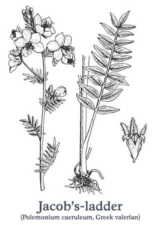 Jacobs-ladder. Vector hand drawn plant. Vintage medicinal plant sketch.